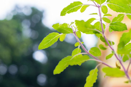What is Tulsi (Holy Basil)?